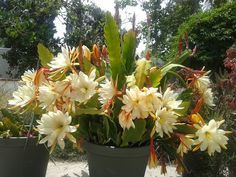 Scientific classification - Kingdom:Plantae. (unranked): Angiosperms. (unranked): Eudicots. (unranked): Core eudicots. Order: Caryophyllales. Family: Cactaceae. Subfamily: Cactoideae. Tribe: Hylocereeae. Genus: Epiphyllum Haw. Species: About 19 species, see text. Synonyms: Phyllocactus Link; Phyllocereus Miq.[1]. Wikipedia