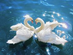 SwansCygnus olor edit3 - Fugler – Wikipedia