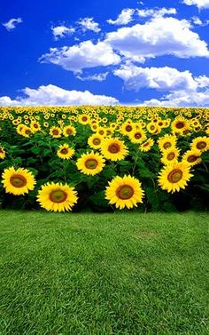 Purchase Blue Sky Sunflowers Lawn Photography Backdrops Photo Props Studio Background from Ann Pekin Pekin on OpenSky.