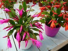 ENTRE PLANTAS Y MACETAS nos cuenta todo sobre el maravilloso cactus de Navidad o Ripsalidopsis. ¿Te lo vas a perder?