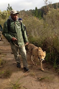 Walk A Cheetah In Africa The Tenikwa Wildlife Awareness and Rehabilitation Centre is located in the Western Cape of South Africa. For $54 you can head out into the indigenous Tsitsikamma Forest and Cape Floral Fynbos grounds.