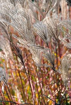 There are ornamental grasses for dry or moisture-retentive soils, for full sun or shade – all of them fully hardy perennial plants. Alpine Meadow, Hardy Perennials, Ornamental Grasses, Mother Earth, Most Beautiful, Leaves, Garden, Flowers, Plants