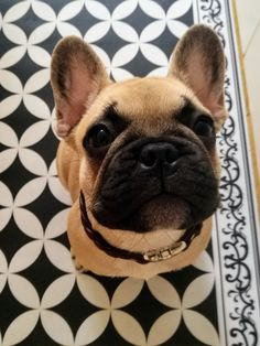 When will breakfast be ready? French Bulldog, Breakfast, Dogs, Cute, Animals, Morning Coffee, Animales, Animaux, French Bulldog Shedding