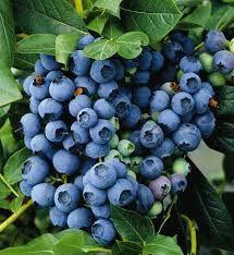 Kesihatan / Health: Menanfaat Buah Blueberry Bagi Kesihatan - Blueberr...