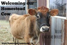 We welcome a homestead cow to our family. Creme Brulee will become our Family Milk Cow, providing our family with milk, manure, and companionship.