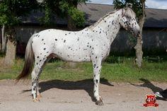 Knabstrupper (Classical type) stallion Noble af Kronplet