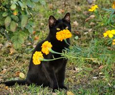 Black cat and yellow flowers. Pretty Cats, Beautiful Cats, Cute Creatures, Beautiful Creatures, I Love Cats, Cute Cats, Baby Animals, Cute Animals, Memes Arte