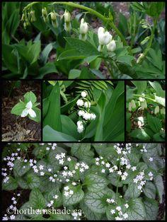 shade garden: bleeding heart, trillium, lily of the valley, solomon's seal and Siberian bugloss