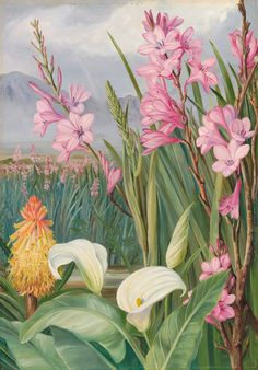 Watsonia roses, Ker, one of the handsomest of the Iris family ; Kniphofta abides, Moench., and Richardia hastata, Hook., a near ally of the species commonly cultivated in this country. Marianne North
