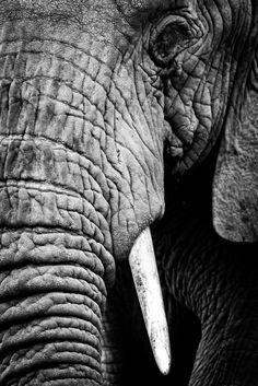 Photo Elephant, Elephant Eye, African Elephant, African Animals, Elephant Baby, Elephant Facts, Elephant Videos, Elephant Anatomy, Tribal African