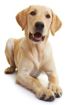Portrait of a young male labrador retriever Golden Retriever Labrador, Labrador Puppies, Labrador Retrievers, Golden Retrievers, Labradors, Labs, Portrait, Respect, Beautiful