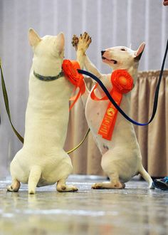 High five! Zulu and her daughter Nora of Madcap Bull Terriers celebrate their new AKC Rally Novice titles.