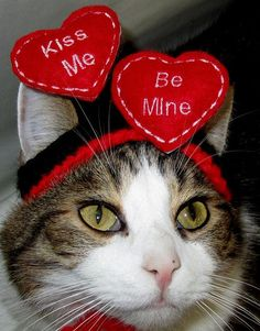 FLOATING HEARTS - WEDDING or Valentine Cat hat - Humorous - 2 to 20 lb pets-made to order