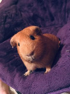 Cute Guinea Pigs, Cute Hamsters, Happy Animals, Cute Animals, Guniea Pig, Pig Family, Gorillaz, Rodents, Animal Photography