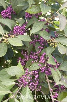 Monrovia's Profusion Beautyberry details and information. Learn more about Monrovia plants and best practices for best possible plant performance.