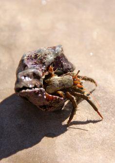 hermit crab Babysitters Beware!