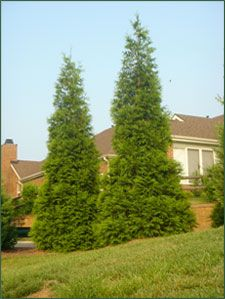 Thuja Green Giant Instructions