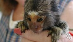 Le ouistiti pygmée ou ouistiti mignon (Cebuella pygmaea ou Callithrix pygmaea), est le plus petit singe et le deuxième plus petit primate du monde. Il passe son temps à creuser des trous dans les arbres afin de recueillir la sève. Les bébés ne pèsent pas plus de 20 g et peuvent s'accrocher sur un doigt humain ! Il habite dans les forêts humides d'Amérique du Sud. Poids : entre 110 et 200 g Taille : de 12 à 15 cm (sans la queue qui mesure environ 20 cm) © Scott Kinmartin, Flickr, cc by nc nd…