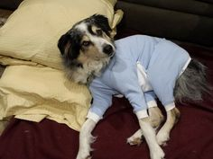 Kiahs is resting comfortably in her new Blue Cover Me by Tui. Check out www.tulanescloset.com  #dogs #pets #animals #ecollaralternative