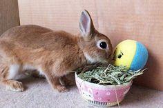 ICHIGO san 490 いちごさんうさぎ rabbit bunny netherlanddwarf brown ichigo ネザーランドドワーフ ペット いちご うさぎ