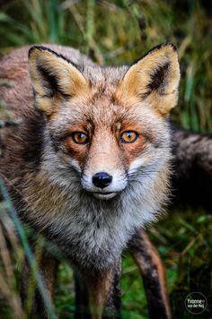 Fox /Vos