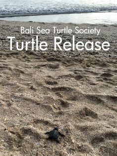 Turtle Release with Bali Sea Turtle Society - Piccolo Explorer Kuta Beach, Asia Travel, Travel Around, Conservation, Travel Inspiration, Bali, Turtle, Around The Worlds, Sea