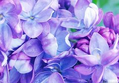 pretty lilacs. I tinted it a bit to brighten the colors flower gallery