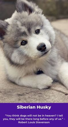 Undeniable Reasons to Own a Siberian Husky Ideas. Irrefutable Reasons to Own a Siberian Husky Ideas. Siberian Husky Names, White Siberian Husky, Siberian Huskies, Alaskan Husky, My Husky, Pomeranian Husky, Pomsky Puppies, Husky Breeds, Dog Breeds