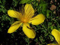 Třezalka Korn, Health, Plants, Salud, Health Care, Flora, Plant, Healthy, Planting