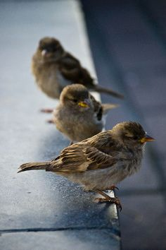 House Sparrows - these little birds are not as common as they used to be .so if their nesting in your house feel privileged and let them be !