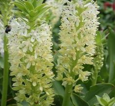 This new Eucomis comosa hybrid was bred by the Dutch company, A. Langedijk. The rosettes of 2' long, strap-shaped, green leaves are topped, starting in early July, with 3' tall spikes of creamy white flowers highlighted by pink centers...worthy of its name. Although Eucomis 'Kilimanjaro' is often listed as a selection of Eucomis comosa, its height indicates a more probable hybrid of Eucomis comosa and Eucomis pallidiflora (pole-evansii).