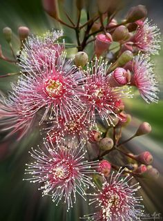 Pink gum blossoms from our garden