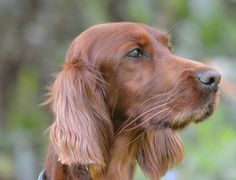 Exclusively Setters - Home for Irish Setter Lovers Around the World