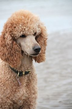 """Obtain terrific tips on """"poodle puppies"""". They are actually readily available for you on our internet site. Dog Training Methods, Dog Training Techniques, Best Dog Training, Sweet Dogs, Cute Dogs, Poodle Cuts, Puppy Obedience Training, Positive Dog Training, Easiest Dogs To Train"""