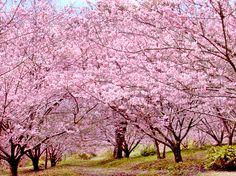 Minhas belas e lindas Sakuras!!! http://blog.sakuraorigami.com.br/2012/07/flores-de-sakura.html