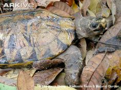 The Arakan forest turtle was long thought to be extinct, having last been seen in 1908, until it was rediscovered in 1994 when a few specimens were spotted in a Chinese food market (4). The carapace of this medium-sized turtle is light brown, with ...
