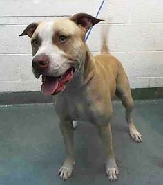 BUSTER (A1676014) I am a male tan and white Pit Bull Terrier mix. The shelter staff think I am about 1 year old. I was found as a stray and I may be available for adoption on 02/03/2015. — hier: Miami Dade County Animal Services. https://www.facebook.com/urgentdogsofmiami/photos/pb.191859757515102.-2207520000.1422700690./918520278182376/?type=3&theater