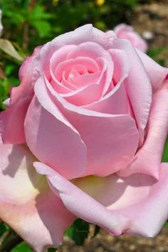 The Queen of flowers in the Queen of colors! Flowers Gif, Beautiful Rose Flowers, Pretty Roses, Love Rose, Colorful Flowers, Beautiful Gardens, Beautiful Flowers, Purple Roses, Pink Flowers