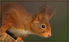 Red Squirrel in the grounds of Aberlour House