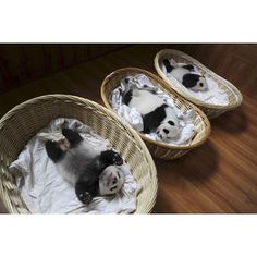 Giant panda cubs are seen inside baskets during their debut appearance to visitors at a giant panda breeding centre in Ya'an Sichuan province China August 21 2015. A total of 10 giant panda cubs that were born in the centre this year aging from one week to two months met visitors for the first time on Friday local media reported. REUTERS/Stringer - More on @animalstory_match by parismatch_magazine