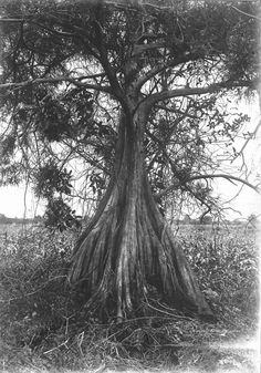 A beautiful tree off the shore of Lake Okeechobee in Can you imagine the size now? Clewiston Florida, Florida Girl, Florida Travel, Vintage Florida, Sunshine State, Growing Tree, Ficus, Flower Photos, Hourglass