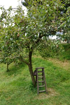 old home and farmingdale are both large (tall & big) pear trees with hard, grainy pears meant for canning.