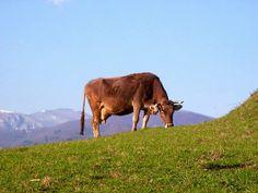 Cow in Garfagnana fields