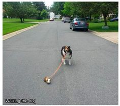 You Walk the Dog, the Dog Walks the Guinea Pig - Funny pictures and memes of dogs doing and implying things. If you thought you couldn't possible love dogs anymore, this might prove you wrong. Dog Photos, Dog Pictures, Best Funny Pictures, Animal Pictures, Random Pictures, Funny Photos, Animals And Pets, Baby Animals, Funny Animals