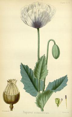 Papaver somniferum, circa 1853 v. 2 - The flora homoeopathica