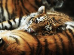 11 photos that prove tigers have a softer side | MNN - Mother Nature Network