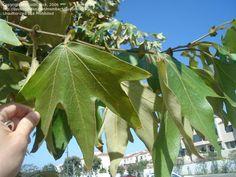 California Sycamore Leaf