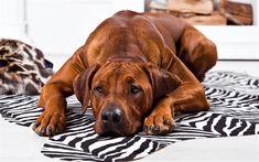 Download wallpapers Rhodesian Ridgeback, 4k, pets, cute animals, dogs, Rhodesian Ridgeback Dog