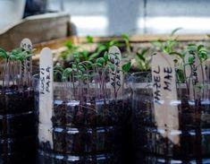 Plantarea rasadurilor de rosii - sfaturi - magazinul de acasă Asparagus, Minis, Candles, Vegetables, Plant, Studs, Candy, Vegetable Recipes, Candle Sticks