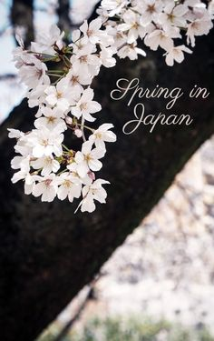 There's nothing quite as beautiful as the sight of a thousand cherry trees bursting with pale pink flowers come springtime in Japan. These one-week itineraries will help you plan and navigate your way around Hanami 2018. Click through to find out when and where to see the cherry blossoms in Japan this coming spring!